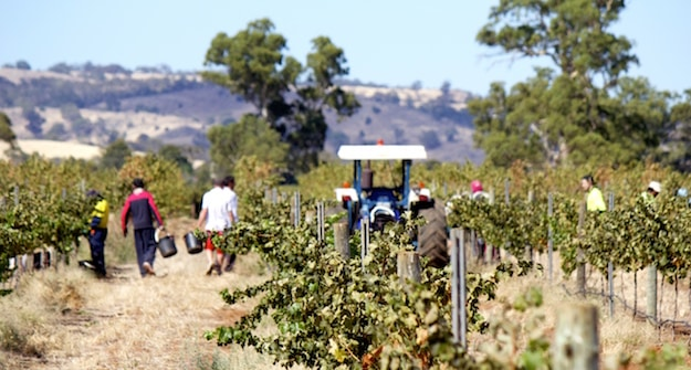 Picking Young Cabernet | Kurtz Family Vineyard | Barossa Valley